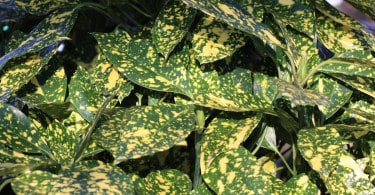 "AUCUBA Crotonifolia ""Rozanne"""