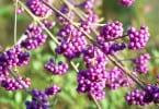 Callicarpa Bodinieri