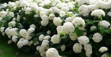 hydrangea-arborescens
