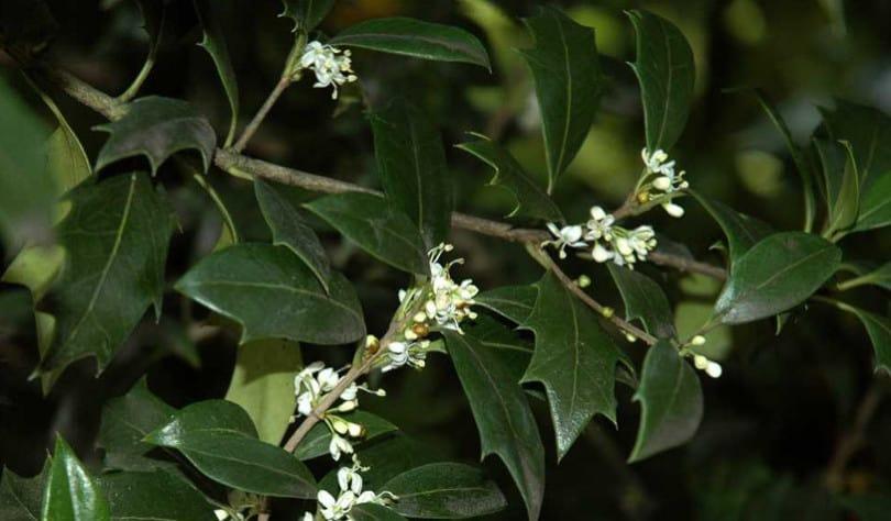 Osmanto heterophyllus