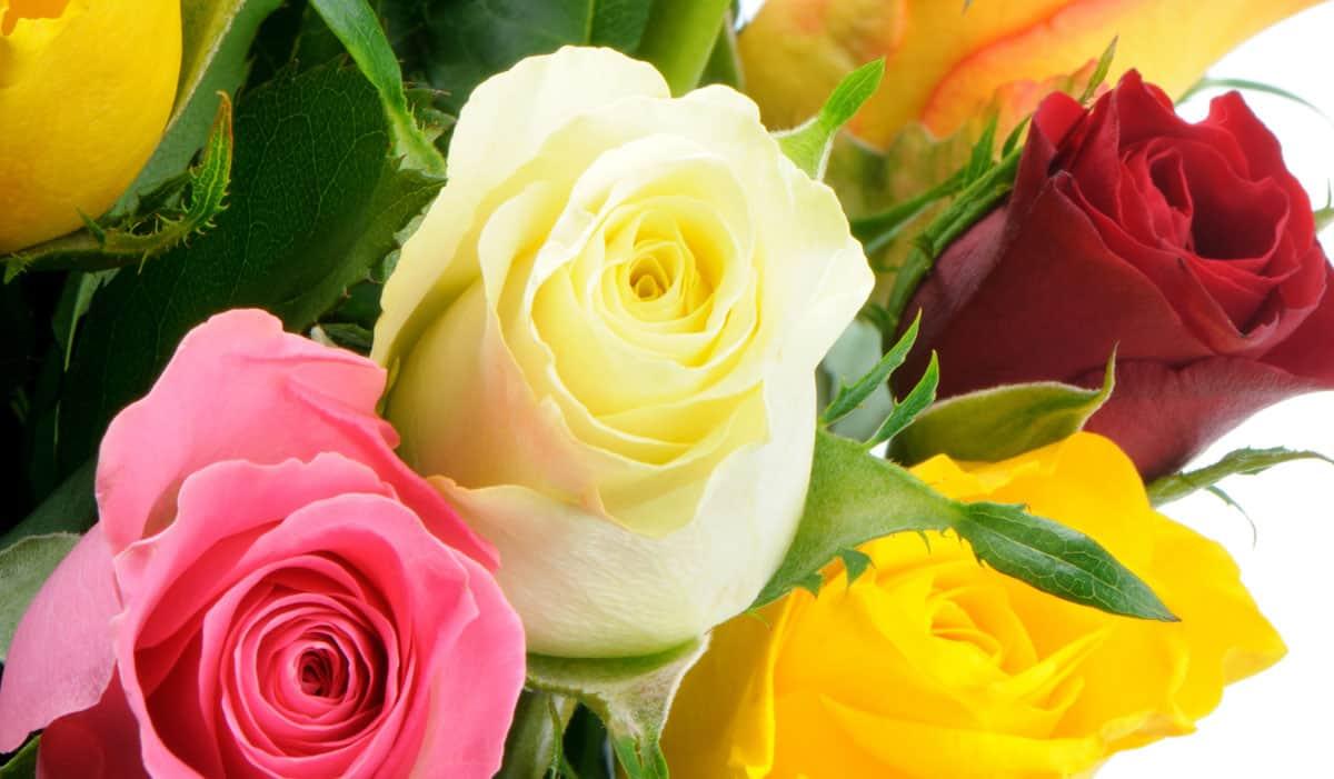 Rose Rampicanti Senza Spine rosa | zanatta alberto