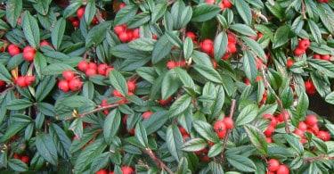 Cotoneaster Salicifolia