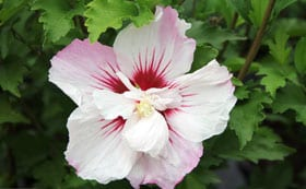 Hibiscus Syriacus Pinky Spot