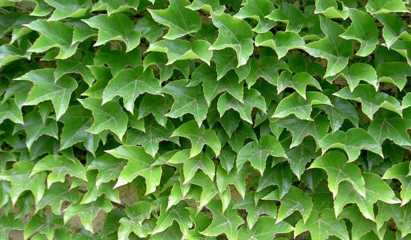 Parthenocissus tricuspidata 'Veitchii Robusta'