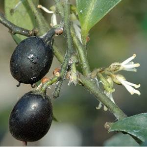 frutto-sarcococca