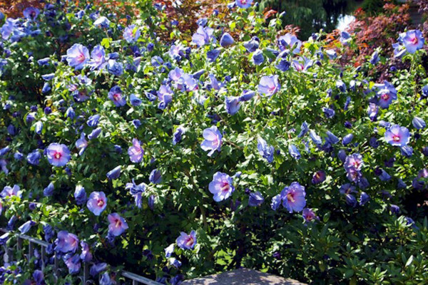 Hibiscus Syriacus Ultramarine