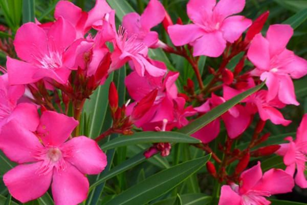 nerium_oleander01