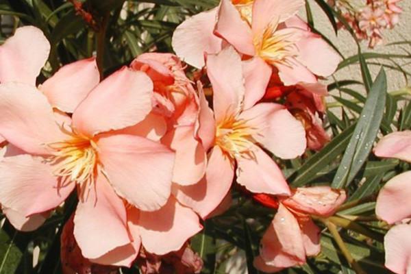 nerium_oleander02