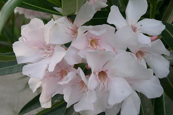 nerium_oleander06