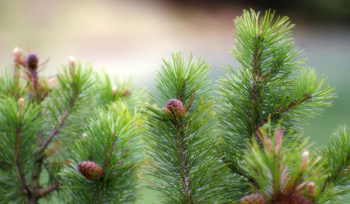 Giardinaggio Giardino Ortensie : Pinus mugo mughus o pino zanatta alberto