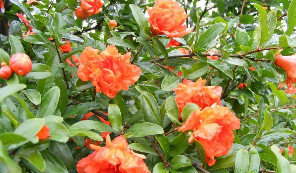 Vivaio Rosso Melograno : Melograno pianta produce frutti grossi