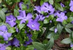 Vinca Minor o Pervinca