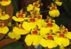 Oncidium Sweet Sugar