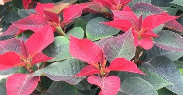 Stella di Natale - Euphorbia pulcherrima