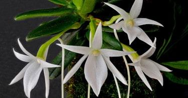 Orchidea Angraecum