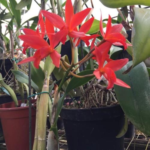 orchidea 01