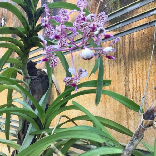 orchidea04