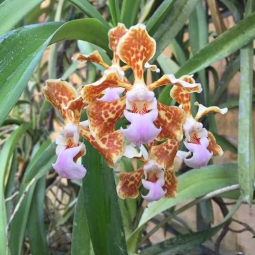 orchidea 05