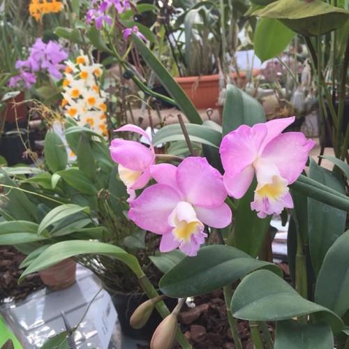 orchidea 06