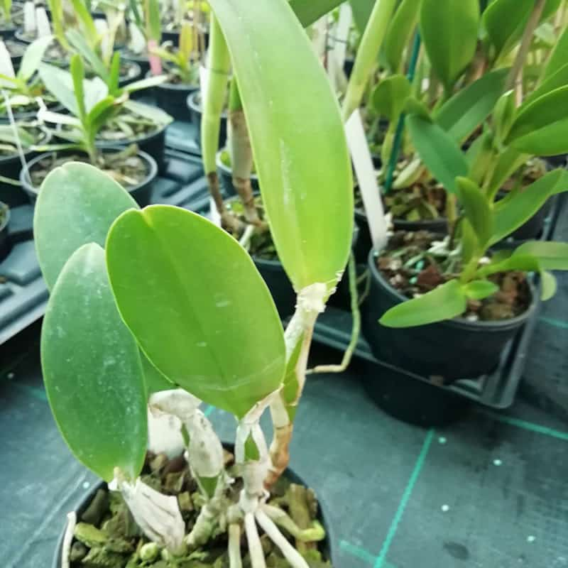 Cattleya Blue Pearl (C. Aloha Case x C. walkeriana)