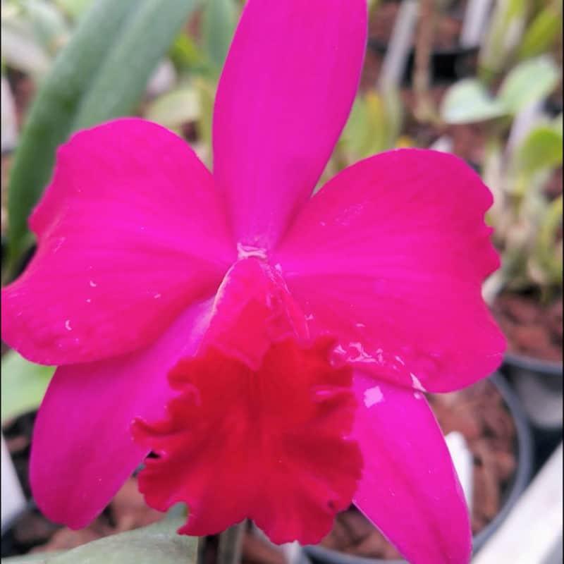 Cattleya Rubin x C. wittigiana