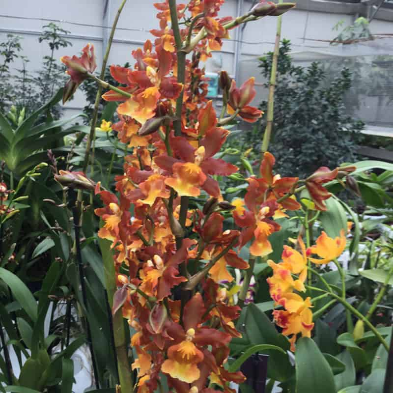 Colmanara Catatante Pacific Sunburst