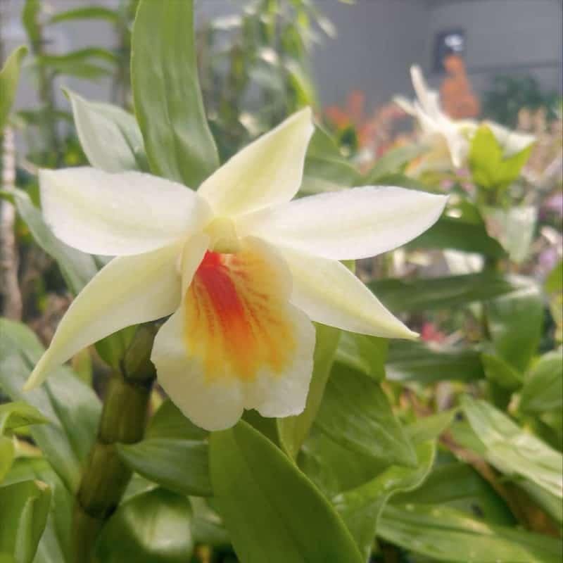 Dendrobium Crhisty Dawn (Den. Dawn Maree x Den.christyanum)