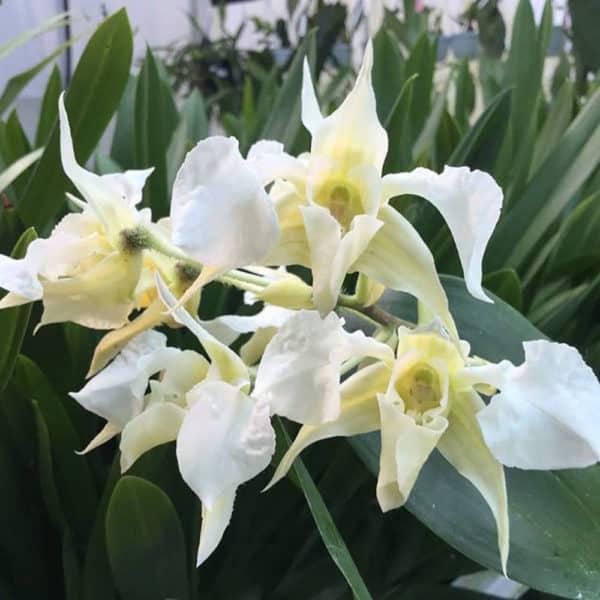 Dendrobium forbesi