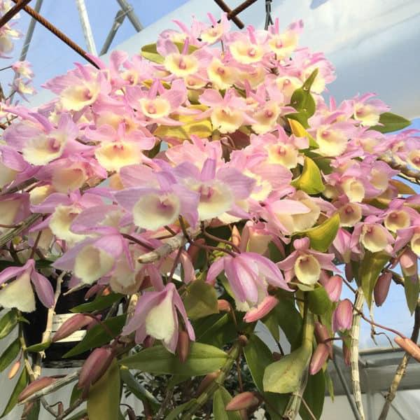 Dendrobium pierardii x loddigesi